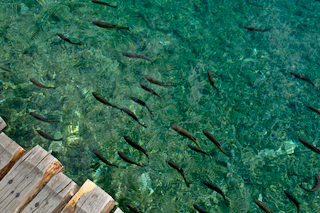 Fish in the Plitvice Lakes (thumbnail)
